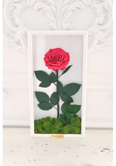 Стабилизированная роза в картине, фуксия, бутон 11 см (бонита), белая рама
