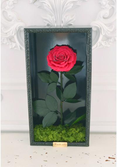 Стабилизированная роза в картине, фуксия, бутон 11 см (бонита), черная рама