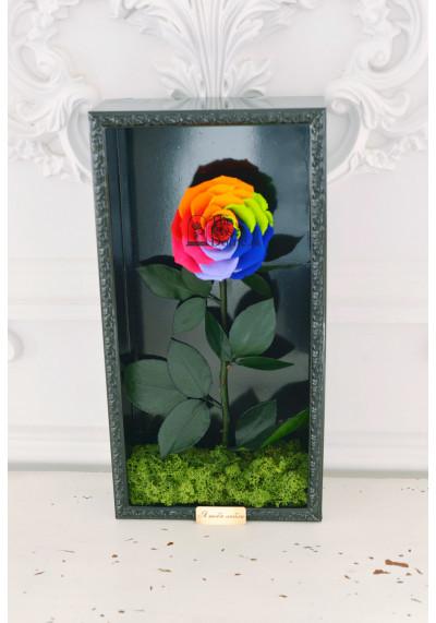 Стабилизированная роза в картине, радужная, бутон 11 см (бонита), черная рама