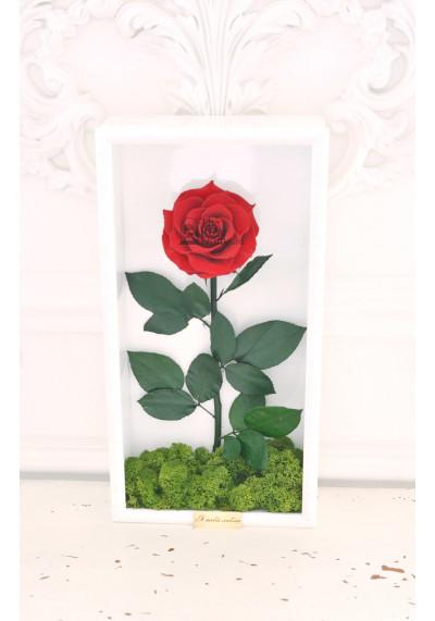 Стабилизированная роза в картине, бордовая, бутон 11 см (бонита), белая рама