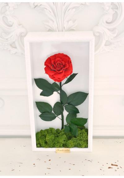 Стабилизированная роза в картине, красная, бутон 11 см (бонита), белая рама